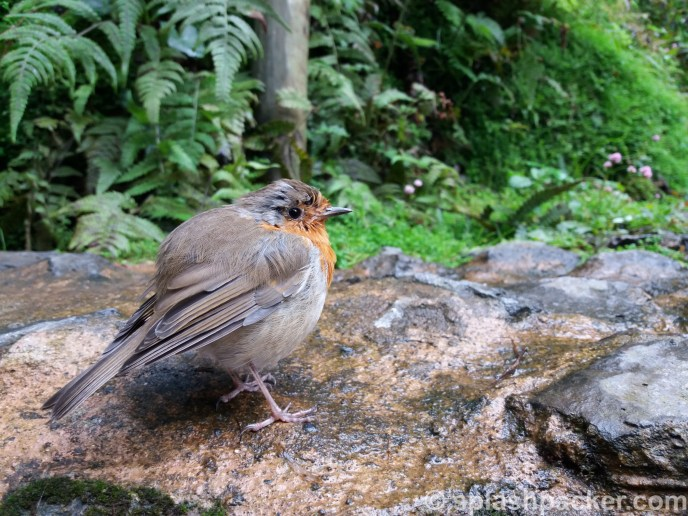 Little bird at the hotsprings on the Azores