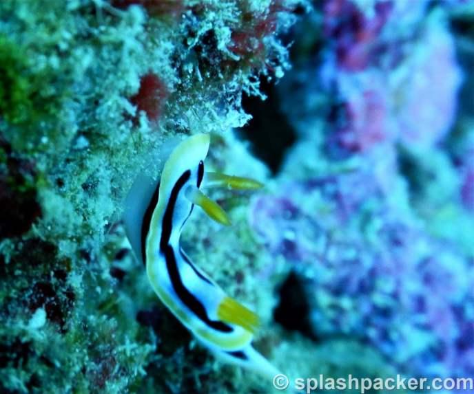 Nudibranch macro photo quality of Nikon Coolpix Dive Camera