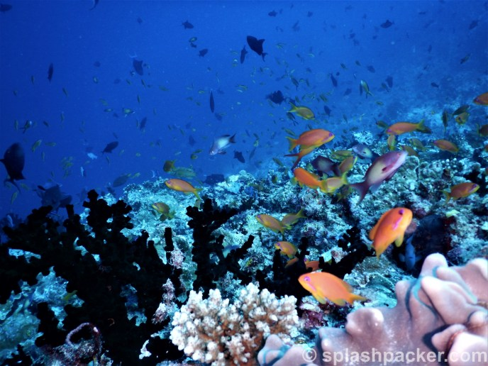 Scuba diving Madivaru Corner offers more fish life than only shark