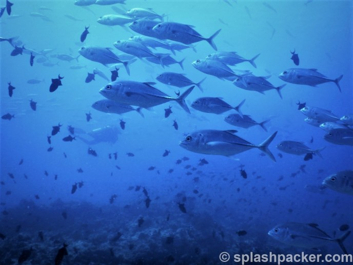 Giant Trevally at Madivaru Coner dive site in the Maldives