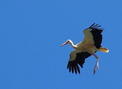 Migratory soaring birds like White Stork Ciconia ciconia funnel through Lebanon as they glide on thermals.