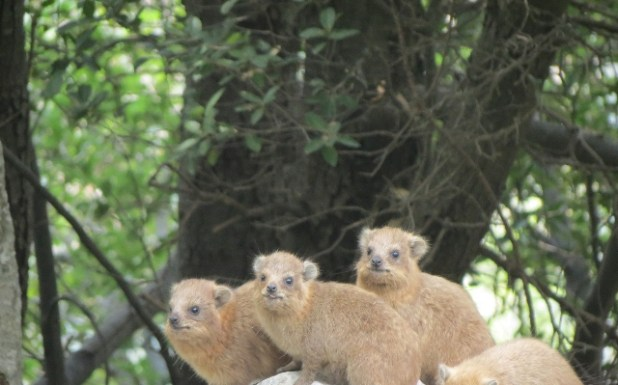 The area inhabits 14 large and medium mammal species such as the Rock Hyrax. 215 plant species among which 20 tree species and 11 endemics