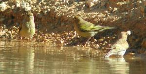 Syrian Serin - middle one is an adult not sure about other t