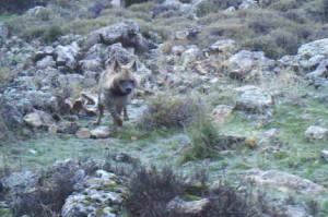 Hyena Anjar