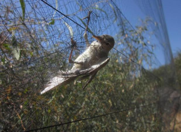 An olivaceous warbler is seen being caught in a mist net, in the Famagusta district of Cyprus, on April 16, 2014 (AFP Photo)