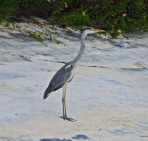 Great blue heron encountered near the turtles beach