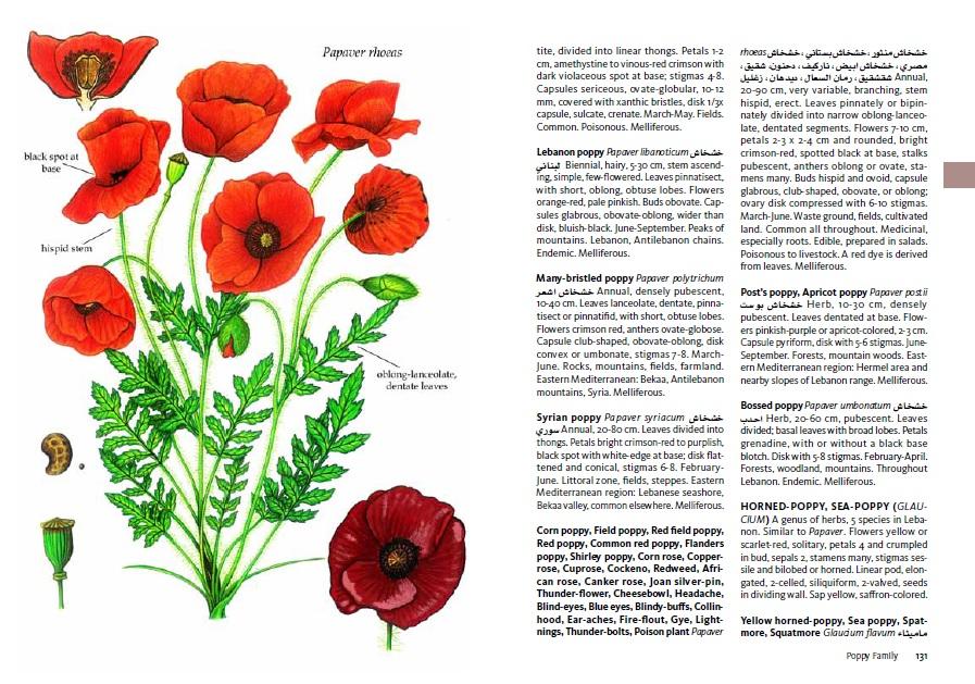 Lebanon poppy