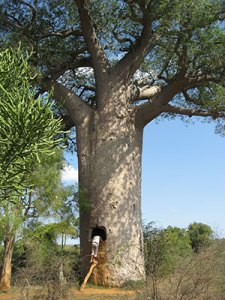Baobab trees are naturally hollow inside to store water so many communities use these as water tanks in southwestern Madagascar. © Andry Petignat