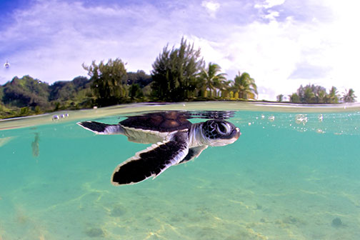 Hatchling green sea turtle (Chelonia mydas) at Moorea Island. © Rodolphe Holler​