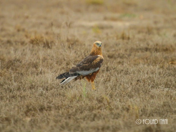 Typical male Western Marsh Harrier, January 2015, Dubai, UAE
