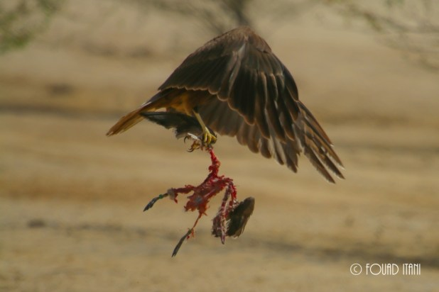 Female Western Marsh Harrier carrying a duck, February 2015, Dubai, UAE