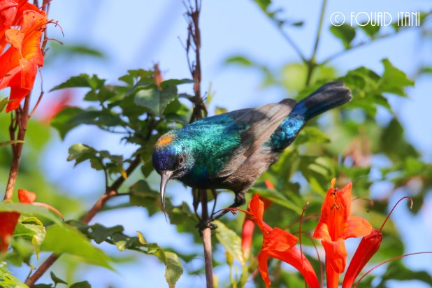 Male Palestine sunbird has his head covered with pollen. December 2015, AUB Campus, Beirut, Lebanon