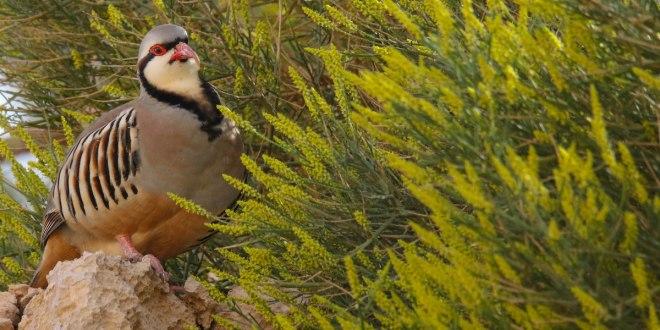 The Chukar Partridge (Alectoris chukar) – Society for the