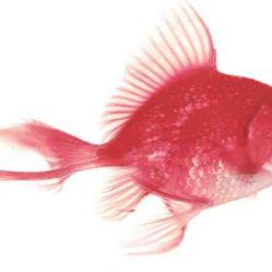 kırmızı balık!