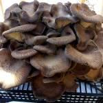 Funghi.biologici
