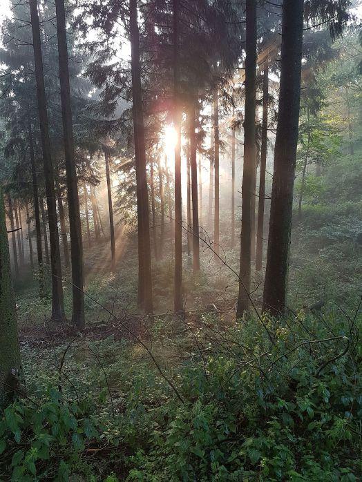 Zwielicht im Wald. Gelegentlich bricht die untergehende Sonne durch die Bäume.