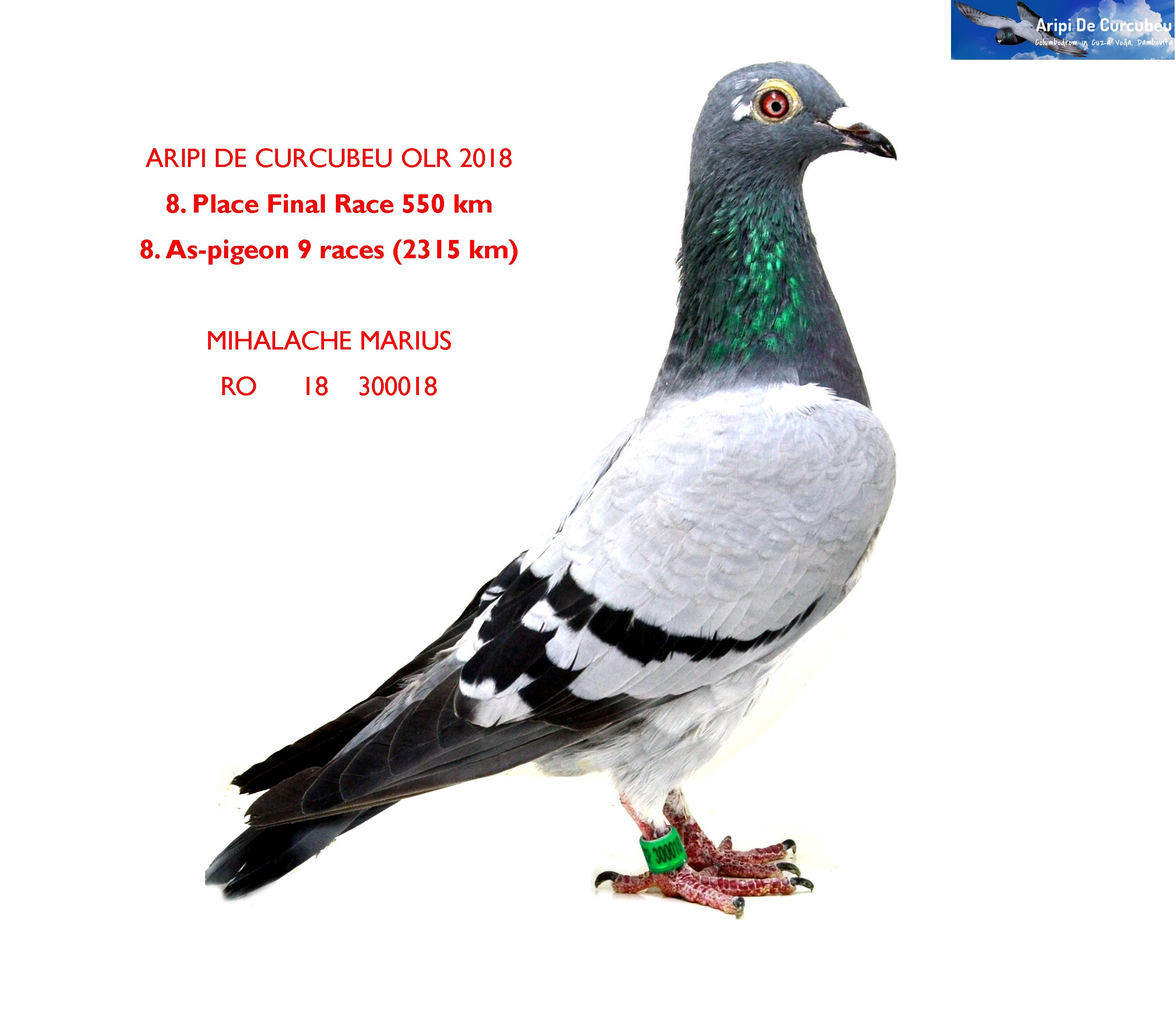 8 FINAL RACE 550km + 8 AS-PIGEON MIHALACHE MARIUS    	RO      18    300018