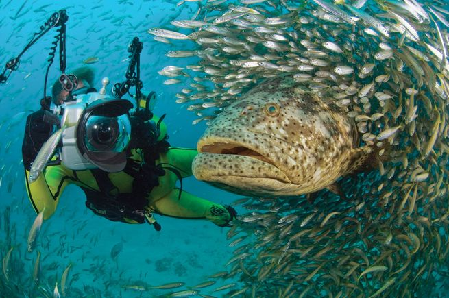 scuba diving Goliath grouper facts