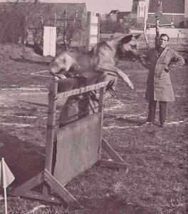 """Андрэ Ноэль, владелец одного из известнейших питомников """"de la Noaillerie"""", наблюдает за работой Cabil (р. 1953 г., LOSH 166742)"""