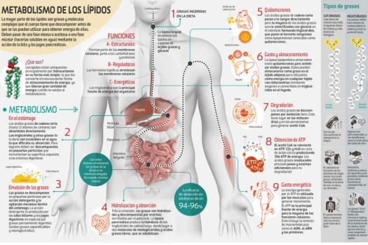 Así funciona... el metabolismo de los lípidos
