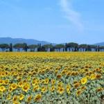 Girasoli, Toscana