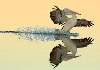 bird-photographer-of-the-year-pellicano-australiano-bret-charman