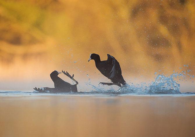 bird-photographer-of-the-year-lotta -fluiche-andrew-parkinson