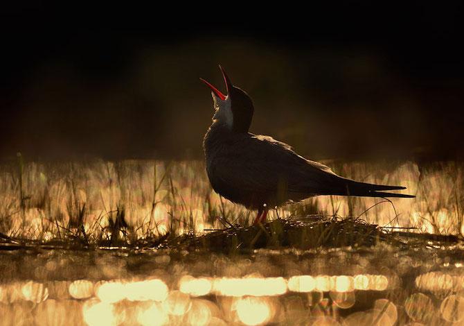 bird-photographer-of-the-year-mignattino-andrej-pelanek
