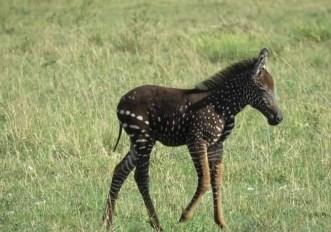 zebra-a-pois-kenya