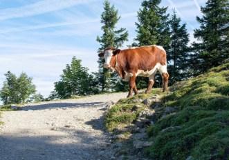 Mucche sul sentiero: cosa fare?
