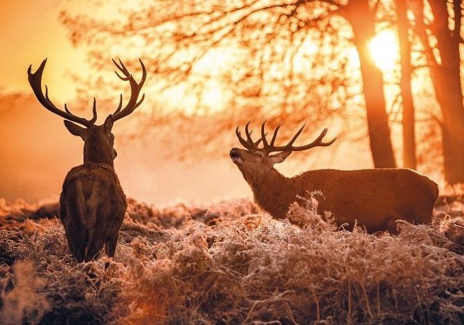 Bramito del cervo: dove andare a sentirlo