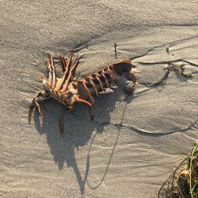 santa-barbara-goleta-isla-vista-strand-natur-krebs-krabbe