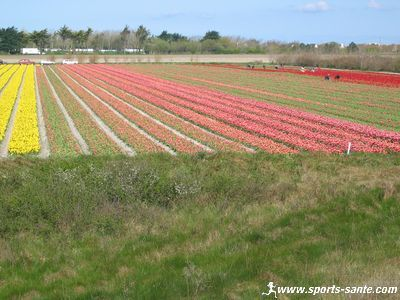Picture of tulip fields