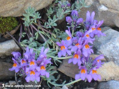Fleur Bleue Des Alpes La Linaire Alpine