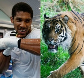 Heavyweight Champ Anthony Joshua Grapples with Big Cat in Dubai
