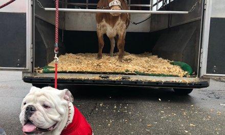 Texas Mascot Bevo Charged at Georgia Bulldog Uga Before the Sugar Bowl