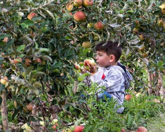 apples web-5073