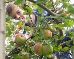 apples web-6438