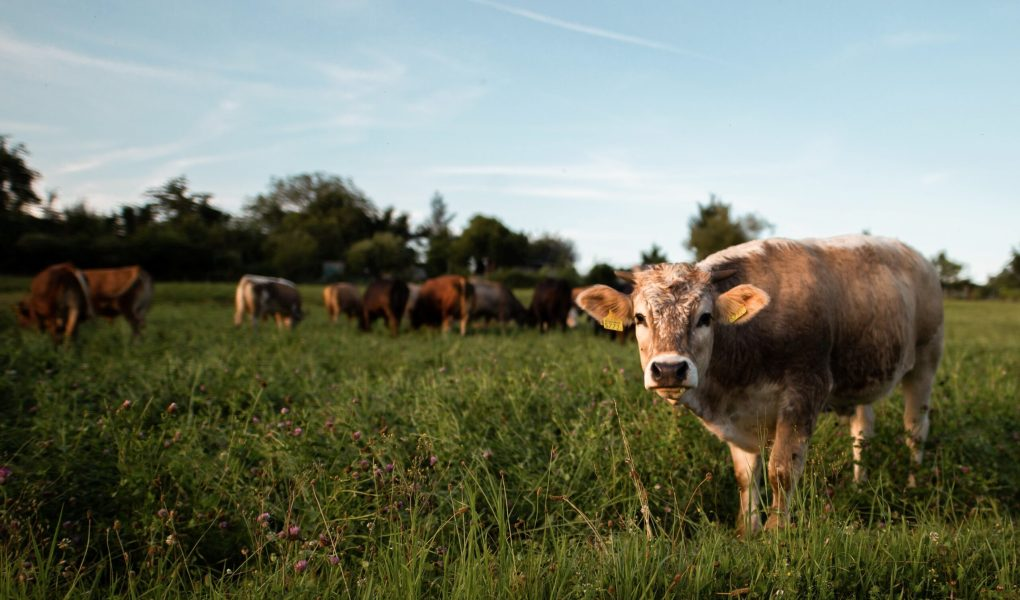 Plusieurs bœufs dans un champ verdoyant, dont un qui nous fait face et nous regarde.