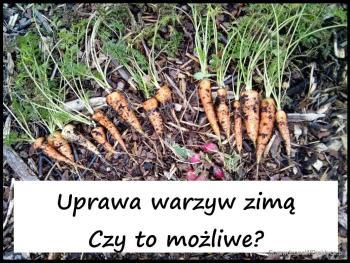 Zbiór warzyw z ogrodu w … styczniu? Czy można uprawiać warzywa zimą w ogrodzie?