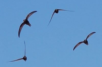Common Swifts Can Stay Airborne For Ten Months, Say Swedish Researchers