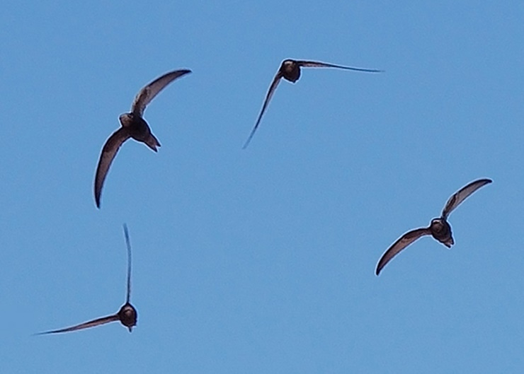 common-swifts