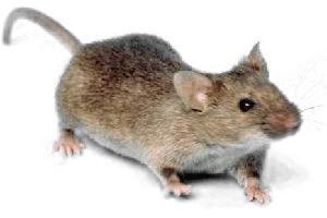 Da beißt die Maus keinen Faden ab - © Wikipedia