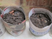 The pots with soil and heirloom tomato seeds planted