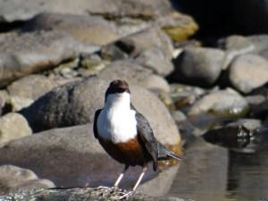 dipper on a rock