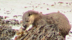 Otter in Loch Slapin