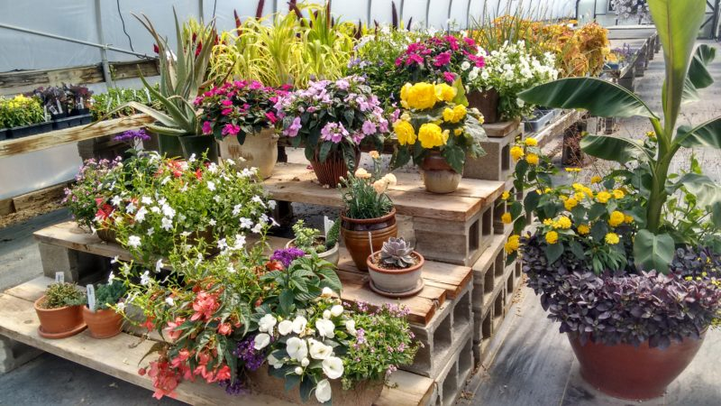 Flowering Annuals on Sale