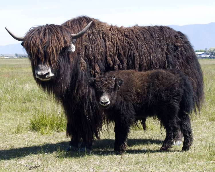 This is a Yak... try to shave that