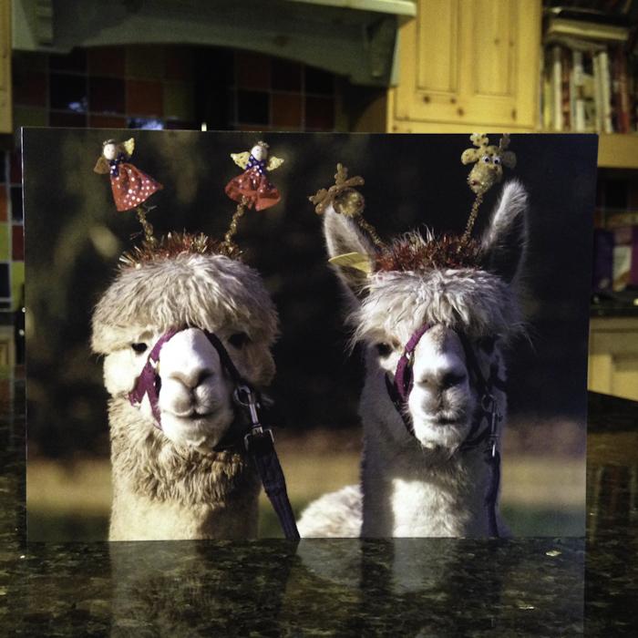 Alpaca Christmas Cards Spring Farm Alpacas