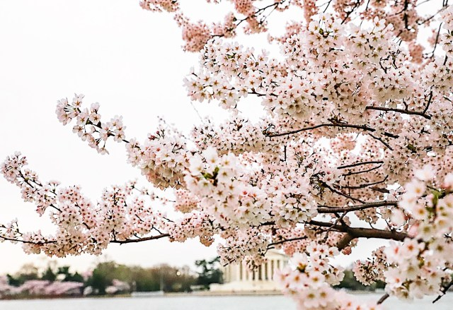 DC Cherry Blossoms Jefferson Memorial